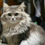 飼ってる猫の紹介 そら(8歳)